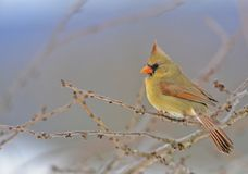 Cardinal in a winter tree. A Female Cardinal in a winter Cherry tree in central Pennsylvania Stock Photo