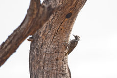 Cardinal Woodpecker Royalty Free Stock Photography