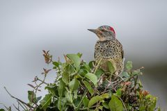 Cardinal woodpecker perched in bush facing left royalty free stock photos