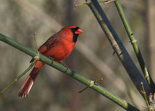 Cardinal in the woods Stock Photos