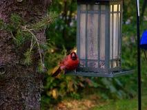 cardinale fotografie stock