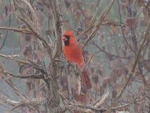 cardinale Fotografia Stock Libera da Diritti