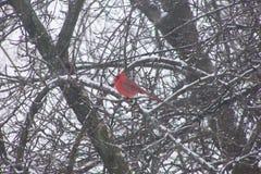 cardinale Immagini Stock Libere da Diritti