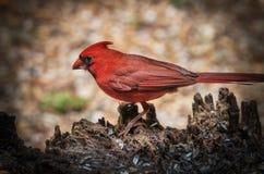 cardinale Fotografia Stock