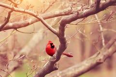 cardinale Immagine Stock Libera da Diritti