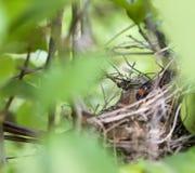 Cardinale Bird della madre in nido Fotografia Stock