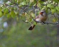 Cardinale (cardinalis di Cardinalis) Fotografie Stock
