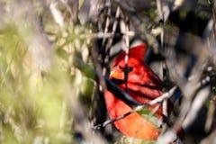 Cardinale che si nasconde nell'albero Fotografia Stock Libera da Diritti