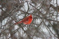 Cardinale che si siede nella tempesta di inverno in un albero Fotografie Stock