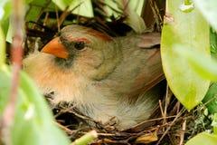 Cardinale femminile nel nido sui pulcini neonati Fotografia Stock Libera da Diritti