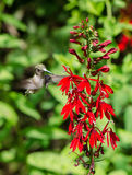 Cardinale Flower e colibrì Fotografia Stock