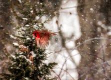 Cardinale Flying In Snow fotografia stock libera da diritti