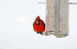 Cardinale freddo ed affamato Fotografie Stock Libere da Diritti