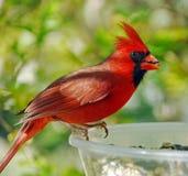 Cardinale maschio (cardinalis di Cardinalis) Fotografie Stock