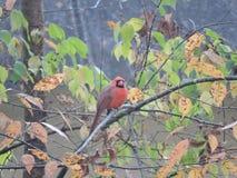 Cardinale maschio rosso Fotografia Stock