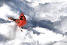 Cardinale nella neve fotografie stock