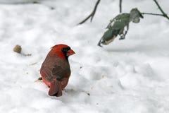 Cardinale nella neve Fotografia Stock