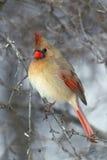 Cardinale nordico (cardinalis di Cardinalis) Fotografie Stock