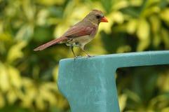 Cardinale nordico (cardinalis di cardinalis) Fotografia Stock