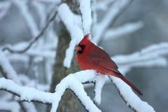 Cardinale nordico - cardinalis di Cardinalis Immagini Stock Libere da Diritti