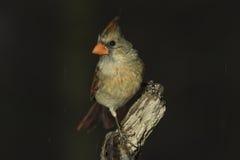 Cardinale nordico femminile (cardinalis di cardinalis) Fotografia Stock