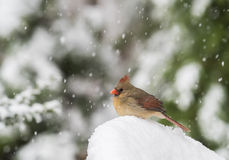 Cardinale nordico in neve Immagine Stock