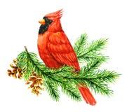 Cardinale rosso Bird sul brunch del pino Immagini Stock Libere da Diritti