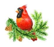 Cardinale rosso Bird sul brunch del pino Fotografie Stock