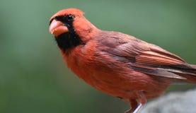 Cardinale rosso With Black Feathers sul suo fronte Fotografia Stock Libera da Diritti