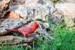 Cardinale rosso dell'uccello su una roccia Fotografia Stock Libera da Diritti