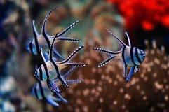 Cardinale tropicale Fishes del mare Fotografia Stock Libera da Diritti
