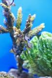 Cardinalfish коралла Стоковые Изображения