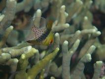 Cardinalfish 03 пижамы Стоковые Изображения RF