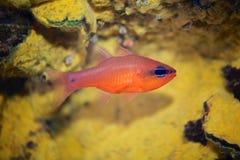 Cardinalfish Στοκ φωτογραφίες με δικαίωμα ελεύθερης χρήσης