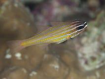 cardinalfish Amarillo-rayado Fotografía de archivo libre de regalías