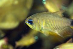 cardinalfish Anaranjado-alineado (fucata del archamia) foto de archivo libre de regalías