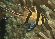 Cardinalfish Banggai стоковая фотография rf