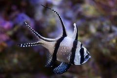Cardinalfish Banggai & x28; Kauderni& x29 Pterapogon; Стоковое Фото