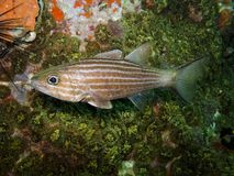 Cardinalfish de loup - artus de Cheilodipterus images libres de droits