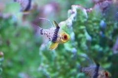 Cardinalfish del pijama Fotografía de archivo
