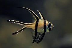 Cardinalfish di Banggai Immagine Stock
