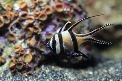 Cardinalfish di Banggai Fotografie Stock