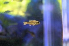 Cardinalfish di Yellowstriped Immagini Stock Libere da Diritti
