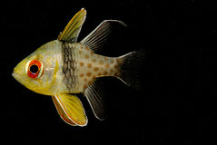 Cardinalfish do pijama - nematoptera de Sphaeramia Imagem de Stock Royalty Free