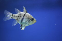 Cardinalfish do Pyjama Imagem de Stock Royalty Free