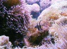 Cardinalfish e Clownfish de Banggai no recife foto de stock royalty free