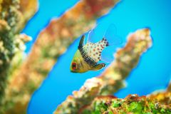 Cardinalfish Stock Photography