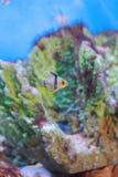 Cardinalfish. The image of the cardinalfish is a common name pajama cardinalfish, spotted cardinalfish, coral cardinalfish or polkadot cardinalfish royalty free stock photography