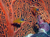cardinalfish korale Zdjęcia Royalty Free