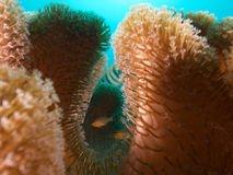 Cardinalfishes in softcoral embrace, Raja Ampat, Indonesia Stock Photography